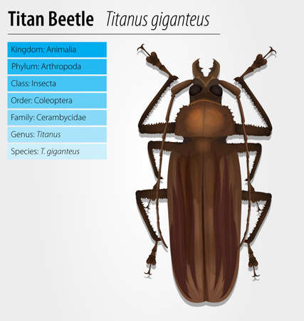 titan: Illustration of a Titan beetle  - Titanus giganteus Illustration