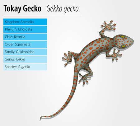 Tokay gecko - Gekko gecko- illustration on white background Illustration