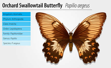 Illustration of a swallowtail butterfly - Papilio aegeus