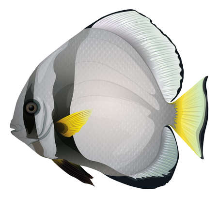 wild living: Illustration of orbicular batfish - Platax orbicularis