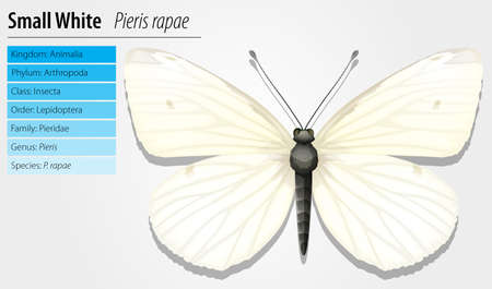 Illustration of Small White butterfly - Pieris rapae Stock Vector - 16214879