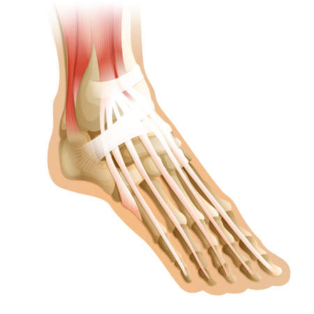 tarsal: Diagram of a human foot with connective tissue