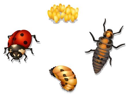 hexapod: Illustration of the ladybug life cycle