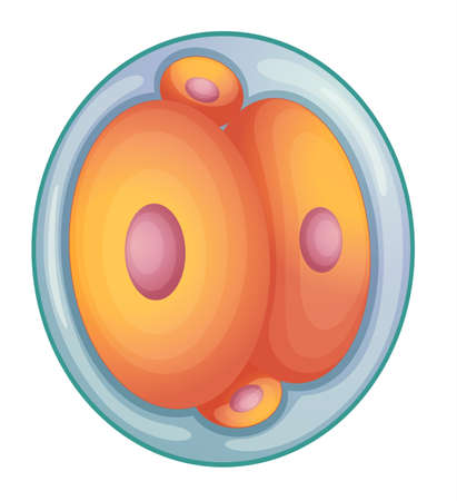 division: llustration of cell division during embryo development