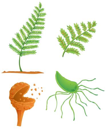 spore: Illustration of the fern life cycle Illustration
