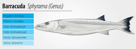 species plate: diagram with species information for barracuda Illustration