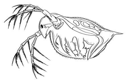 plancton: Croquis de la Daphnia protozoario