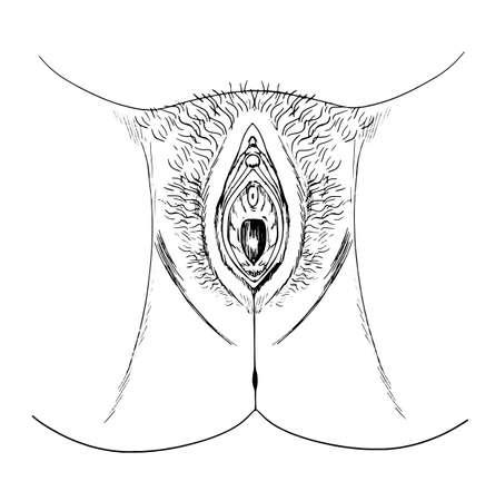 Sketch of the human vagina (external anatomy) Stock Vector - 16771594