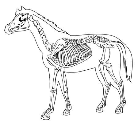 forearm: Diagram of a horse skeleton