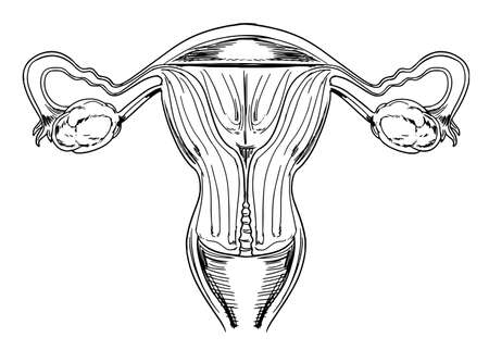 sistema reproductor femenino: Esquema de los órganos reproductores internos femeninos Vectores