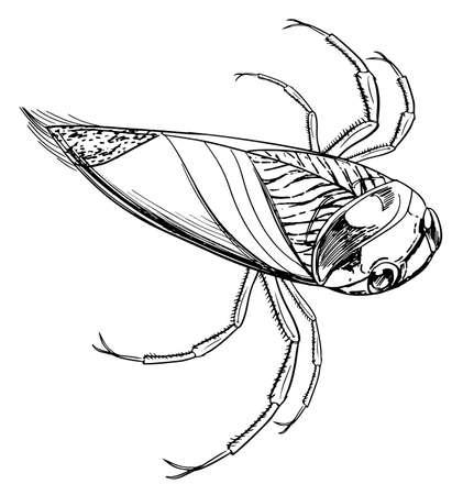 skim: sketch of a water beetle Illustration