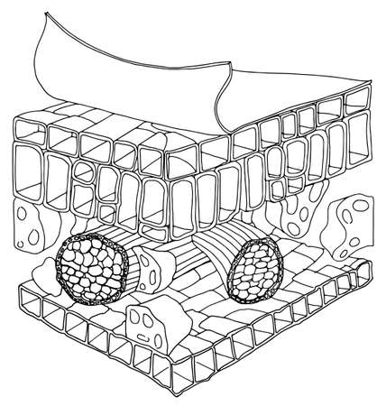 dicot: Sketh bianco e nero della struttura di una foglia