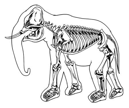 Diagram Of The Elephant Skeleton Royalty Free Cliparts, Vectors, And ...