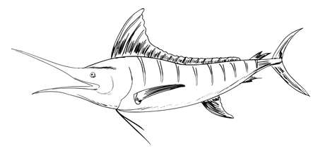 lateral eyes: Sketch of the Atlantic blue marlin