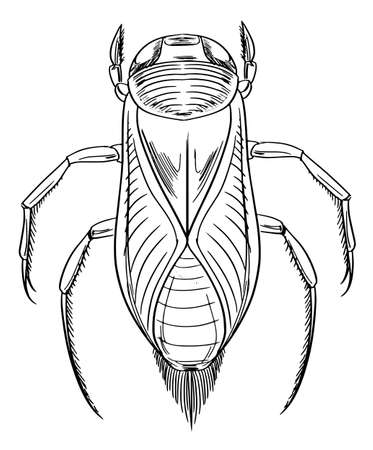 sketch of a water beetle Illustration