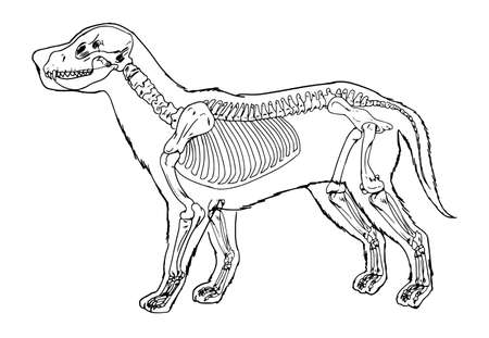 bone anatomy: Dog skeleton outline