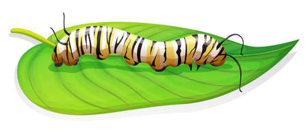 nymphalidae: Illustration of the monarch butterfly larva stage