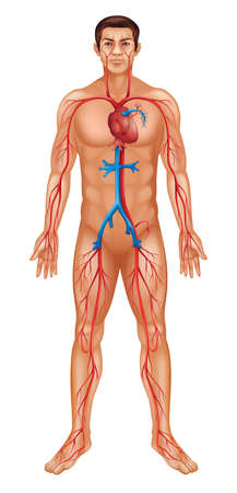 Illustration of human male and circulatory system Vector