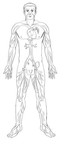 arteries: Outline illustration of the human circulatory system