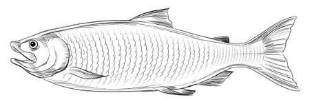 zwart wit tekening: Illustratie van een Atlantische zalm (Salmo salar) Stock Illustratie