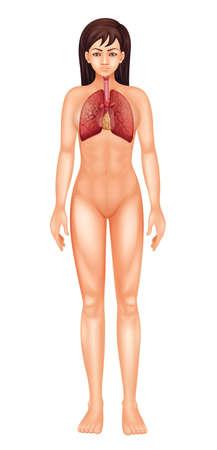 alveolos pulmonares: Ilustración del aparato respiratorio - hembra