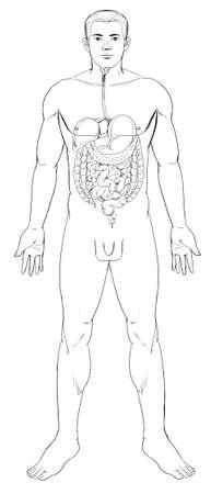 sistema digestivo humano: Esquema ilustraci�n del sistema digestivo humano Vectores