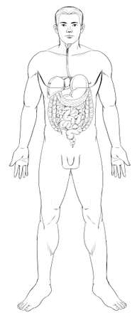 cecum: Outline illustration of the human digestive system Illustration