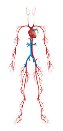 arteries: Illustration of isolated human circulatory system