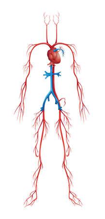 vasos sanguineos: Ilustración del sistema circulatorio humano aislado