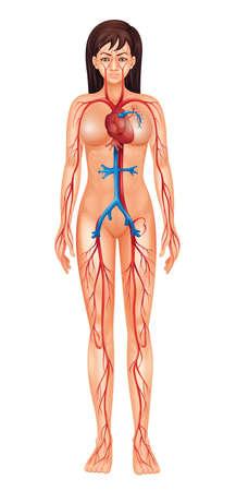 circolazione: Illustrazione di isolati sistema circolatorio umano - femmina