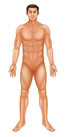 male anatomy: Illustration of a generic male body