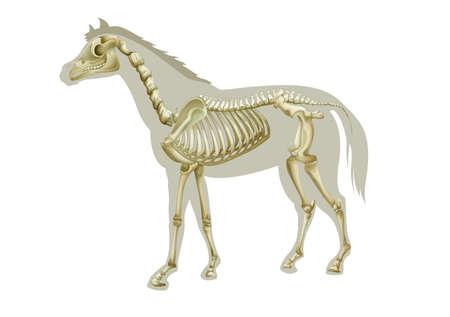 squelette: Illustration d'un squelette de cheval - vue lat�rale