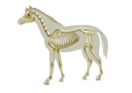 skeleton: Illustration of a horse skeleton - side view
