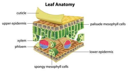 epiderme: Illustration de l'anatomie d'une feuille