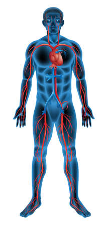 Illustration of the circulatory system Vector