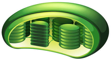 Illustration of a chloroplast