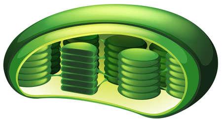 Ilustración de un cloroplasto