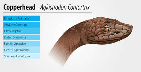 Agkistrodon contortrix - the copperhead snake Stock Vector - 16988206