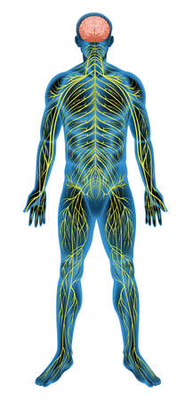 nerve: Illustration of the human nervous system Illustration