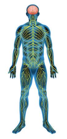 sistema nervioso central: Ilustración del sistema nervioso humano