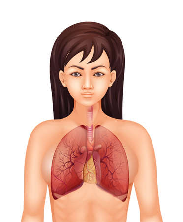 Illustration of the human respiratory system Vector