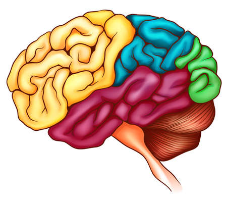 An illustration of the human brain Stock Vector - 16988265