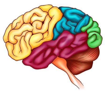 l�bulo: Una ilustraci�n del cerebro humano
