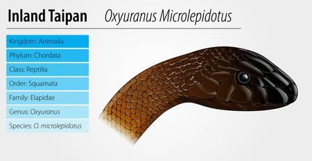 Illustration of Oxyupanus microlepidotus - Inland Taipan Stock Vector - 16988179