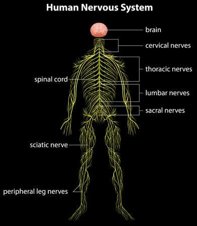 central: Illustratie van het menselijk zenuwstelsel Stock Illustratie