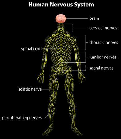 nervous: Illustration of the human nervous system Illustration