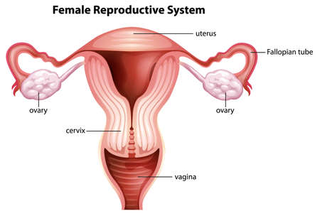 Illustration of female reproductive system Vector