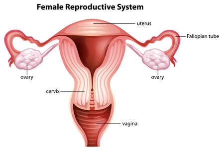 ovary: Ilustraci�n del sistema reproductor femenino