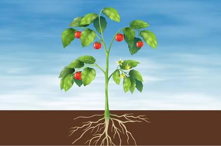racines: Illustration montrant les parties d'un plant de tomate