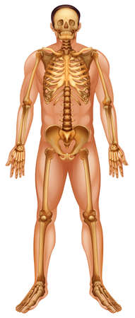 human bones: Illustration of the human skeletal system Illustration